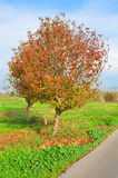 Colorful tree near path. A colorful tree with red, orange and yellow leaves near a path royalty free stock photo