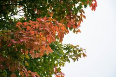 Colorful Tree. Starting to looks like Fall Season in the neighborhood stock images