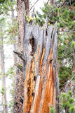 The Colorful Tree. This was a type of tree that I saw a few times at Yellowstone National Park. Most of the time I saw this kind of coloration on dead trees, but Stock Photography