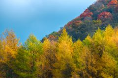 Colorful trees in autumn,Sichuan, China royalty free stock images