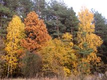 Colorful trees. Autumn aura of trees in the forest Stock Photography