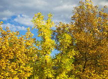 Colorful trees in autumn. On the background of blue sky with gray clouds royalty free stock photo