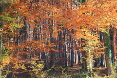 The Colorful trees in autumn Royalty Free Stock Photography