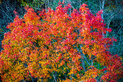 Colorful trees in autumn, maple leaves. Colorful trees in autumn or fall royalty free stock photography
