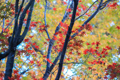 Colorful trees in autumn period. In Japan stock photography