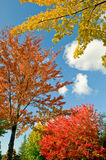 Colorful trees in autumn scene Royalty Free Stock Image