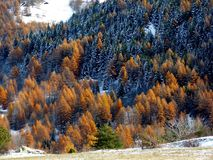 Colorful trees covered with snow, Italy. Orange larch trees of a forest in the italian alps during autumn, Bardonecchia, Italy Royalty Free Stock Image