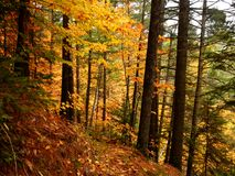 Colorful trees deep in the woods during a Quebec Indian Summer. Autumn Royalty Free Stock Photos