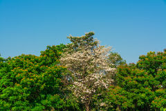 Colorful treetop with white Chinese rose in the middle Stock Photo