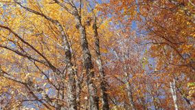 Colorful treetops in autumn sunlight in light wind, bottom view