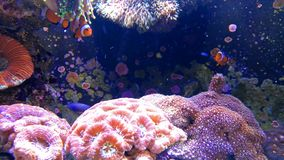 Colorful tripical fish swimming in tank with coral stock video