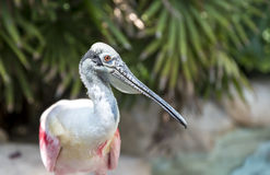 A colorful tropical bird, Roseate Spoonbill Stock Photo