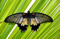 Colorful tropical butterfly on green leaves photo Stock Images
