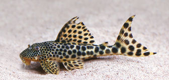 Colorful tropical catfish Royalty Free Stock Photos