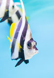 A colorful tropical copperband butterflyfish, Chelmon rostratus Stock Photo