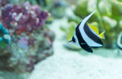 A colorful tropical copperband butterflyfish, Chelmon rostratus Stock Images