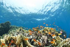 Colorful tropical coral scene in shallow water. Shaab Ohrob, Southern Red Sea, Egypt Royalty Free Stock Photos