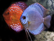 Colorful tropical discus fish Stock Photo