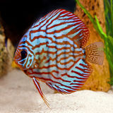 Colorful tropical discus fish Royalty Free Stock Image