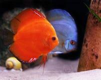 Colorful tropical discus fish Stock Photos