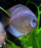 Colorful tropical discus fish Royalty Free Stock Photography