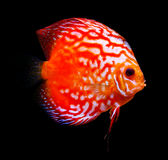 Colorful tropical discus fish Stock Image