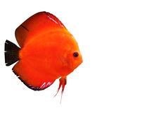 Colorful tropical discus fish Royalty Free Stock Photos