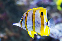 Colorful tropical fish. Side view of colorful tropical fish swimming underwater Stock Image