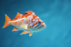 Colorful tropical fish Stock Photography