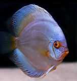 Colorful tropical fish Royalty Free Stock Photos