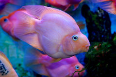 Colorful tropical fish. Side view of colorful tropical fish swimming in sea Stock Images