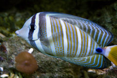 Colorful tropical fish Royalty Free Stock Photo