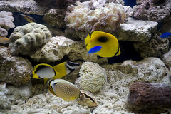 Colorful tropical fish  Stock Photos