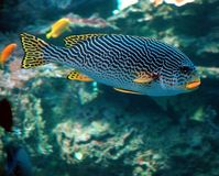 Colorful tropical fish. With coral reef in background Royalty Free Stock Photography