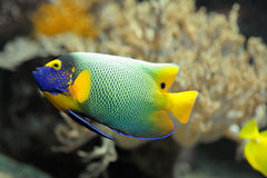 Colorful tropical fish angelfish. Close up Stock Photo