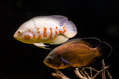 Colorful tropical fish in aquarium Royalty Free Stock Images