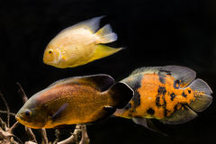 Colorful tropical fish in aquarium.  Royalty Free Stock Photos