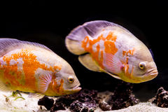 Colorful tropical fish in aquarium.  Royalty Free Stock Photography