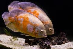 Colorful tropical fish in aquarium Royalty Free Stock Image