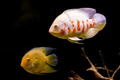 Colorful tropical fish in aquarium Royalty Free Stock Photo