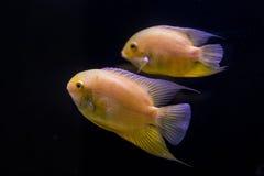 Colorful tropical fish in aquarium Stock Images