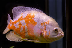 Colorful tropical fish in aquarium Royalty Free Stock Photos