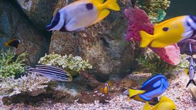 Colorful tropical fish in aquarium stock video