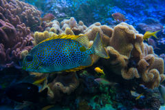 Colorful tropical fish in a coral reef. Aquarium Gdynia city, Poland Stock Image