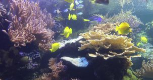 Colorful tropical fish in coral reef, 4K. Colorful tropical fish swimming underwater in coral reef stock video