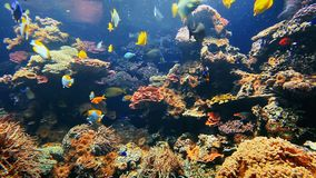 Tropical fish under water. Colorful tropical fish on coral reef stock video footage