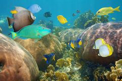 Colorful tropical fish in a coral reef. Colorful tropical fish underwater in a coral reef of the Caribbean sea Royalty Free Stock Photo