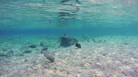 Colorful Tropical Fish on Coral Reefs in the Red Sea. Egypt. Beautiful Colorful Tropical Fish on Vibrant Coral Reefs Underwater in the Red Sea. Egypt. Sealife stock video