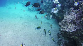 Colorful Tropical Fish on Coral Reefs in the Red Sea. Egypt. stock video footage