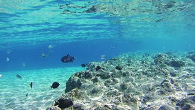 Colorful Tropical Fish on Coral Reefs Underwater in the Red Sea stock video footage